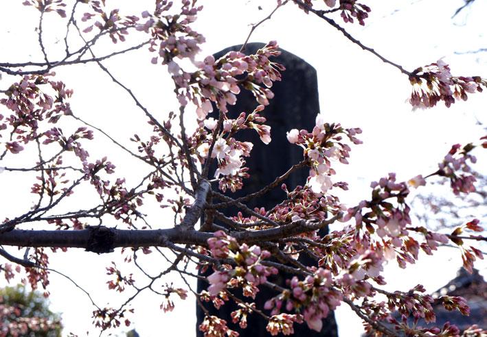 糸桜やっと八分咲き_b0145296_7102753.jpg