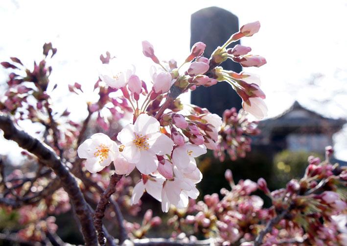 糸桜やっと八分咲き_b0145296_710501.jpg