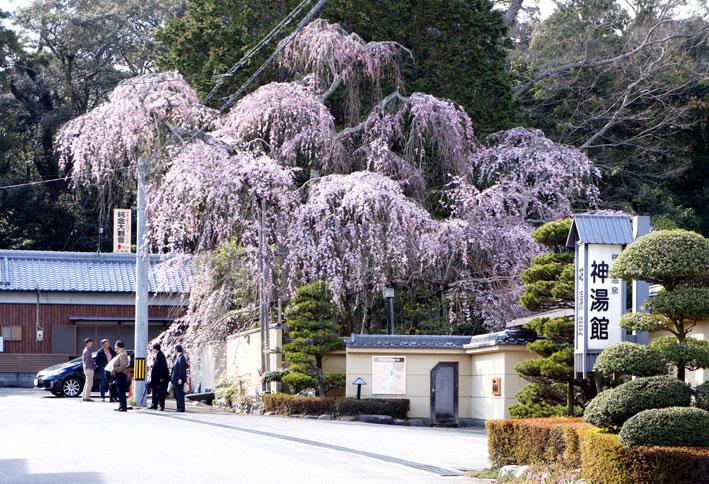 糸桜やっと八分咲き_b0145296_784191.jpg