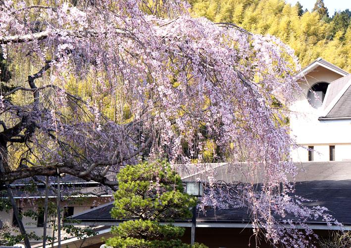 糸桜やっと八分咲き_b0145296_791252.jpg