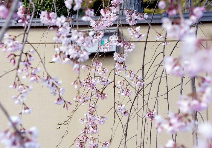 糸桜やっと八分咲き_b0145296_795029.jpg