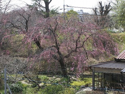 桜はまだかいな~そして満開_f0117399_12521279.jpg