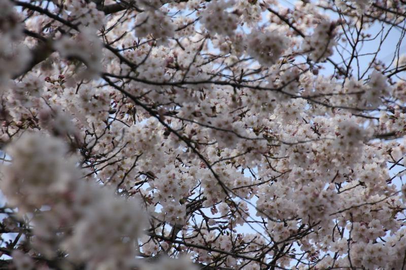 桜咲く_f0141609_2153699.jpg