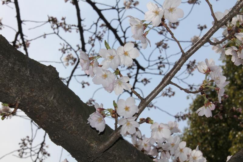 桜咲く_f0141609_216481.jpg