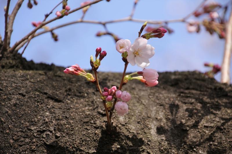 桜咲く_f0141609_2172334.jpg