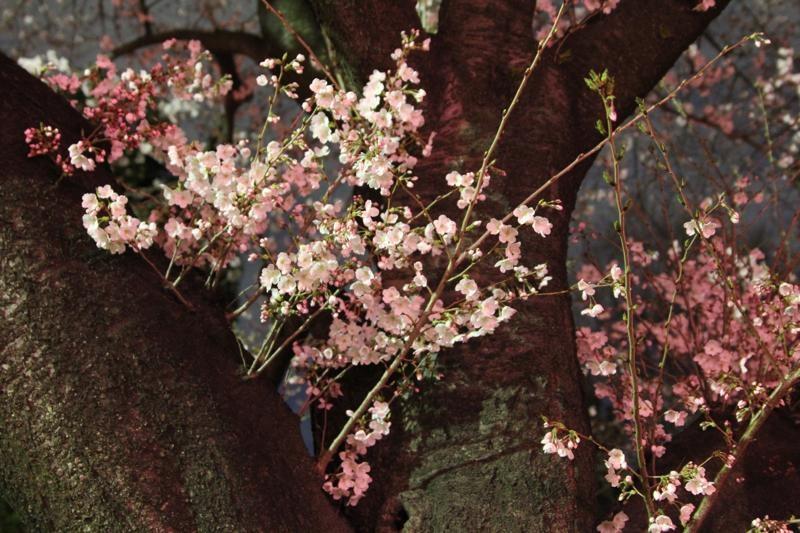 桜咲く_f0141609_217592.jpg