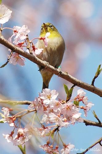 桜とメジロ&ヒヨドリ_f0012718_19245110.jpg