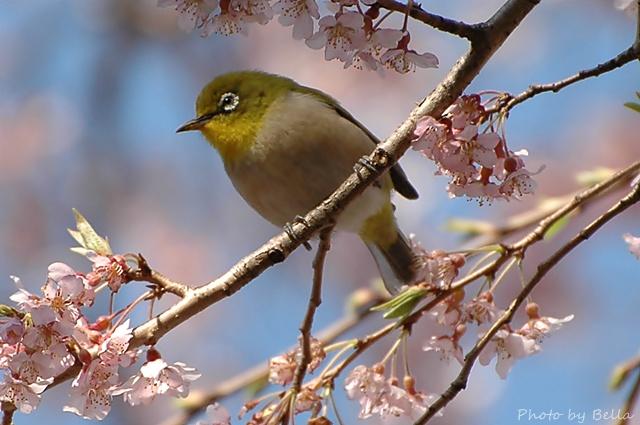 桜とメジロ&ヒヨドリ_f0012718_1936418.jpg