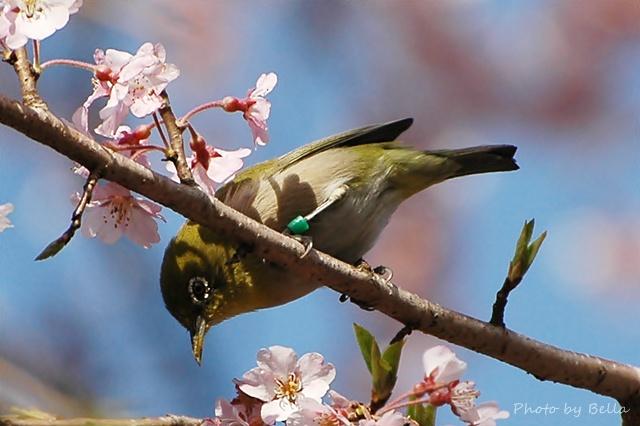 桜とメジロ&ヒヨドリ_f0012718_2043678.jpg