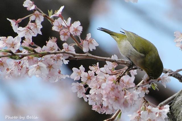 桜とメジロ&ヒヨドリ_f0012718_20563339.jpg
