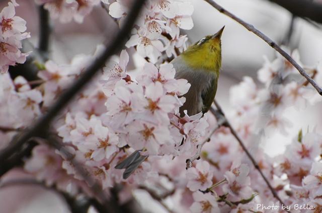 桜とメジロ&ヒヨドリ_f0012718_2104181.jpg