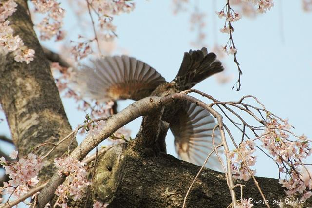 桜とメジロ&ヒヨドリ_f0012718_21134531.jpg