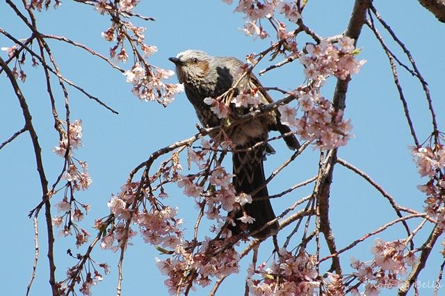 桜とメジロ&ヒヨドリ_f0012718_21162047.jpg