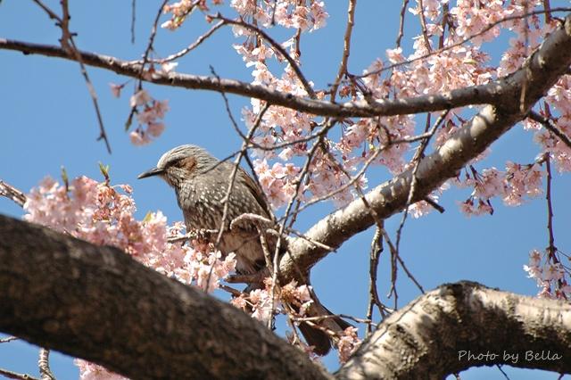 桜とメジロ&ヒヨドリ_f0012718_21201844.jpg