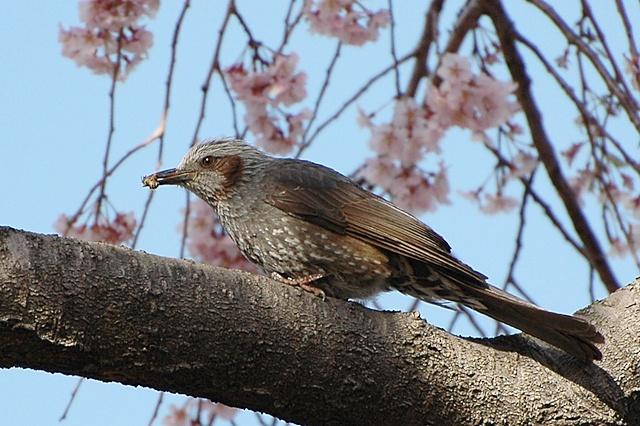 桜とメジロ&ヒヨドリ_f0012718_21301410.jpg