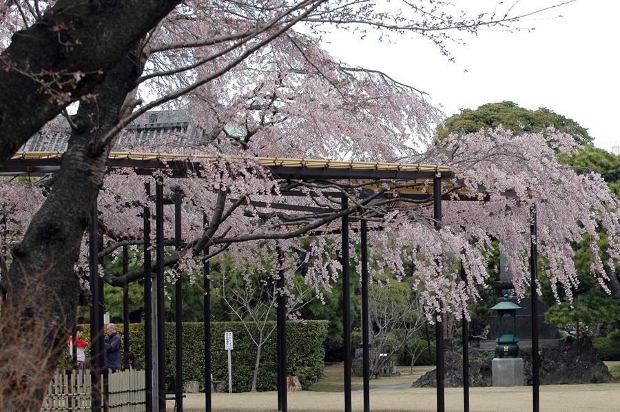 桜とメジロ&ヒヨドリ_f0012718_21381613.jpg