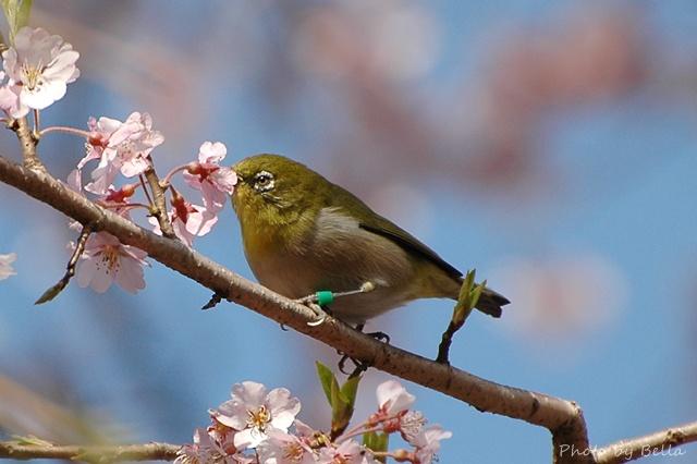 桜とメジロ&ヒヨドリ_f0012718_2142353.jpg
