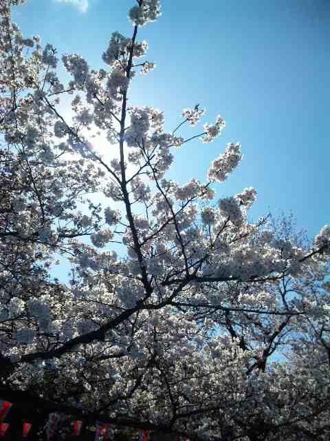 桜咲く・Sakura_a0103940_1525364.jpg