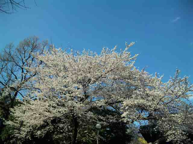 桜咲く・Sakura_a0103940_1525373.jpg