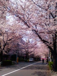 桜満開_f0138653_15242857.jpg