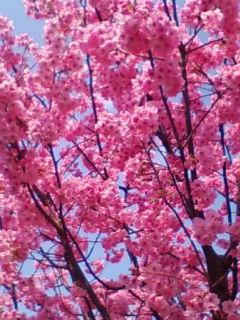 桜満開_f0138653_15244773.jpg