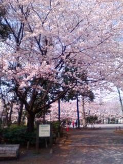 桜満開_f0138653_15251056.jpg