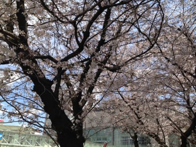 栄の桜_e0233674_11123381.jpg