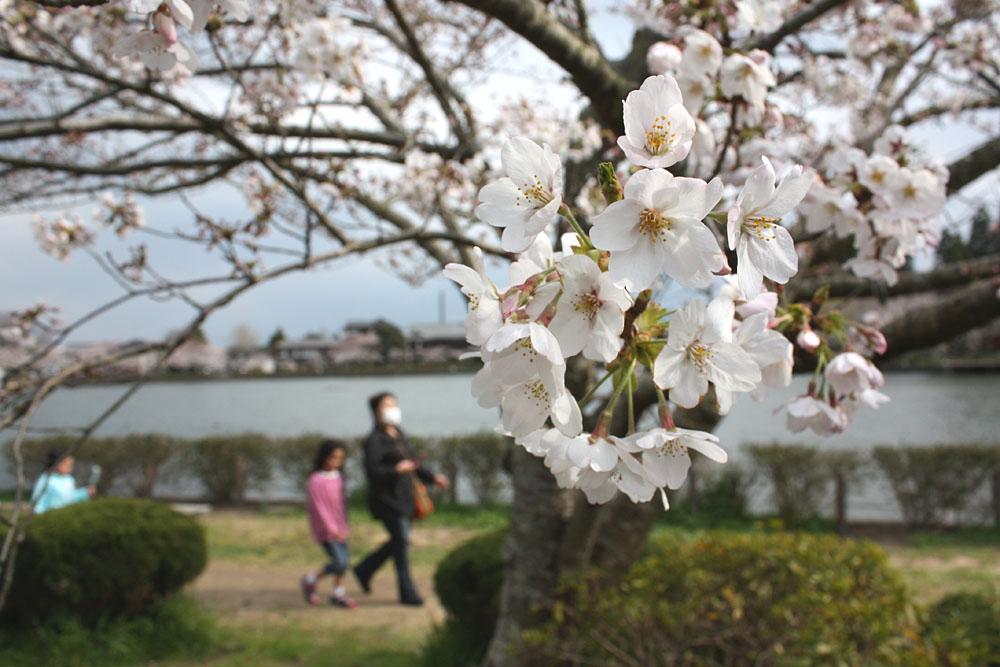 八鶴湖の桜は七分咲き_b0114798_17343985.jpg