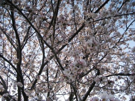 桜満開?_c0206545_049626.jpg