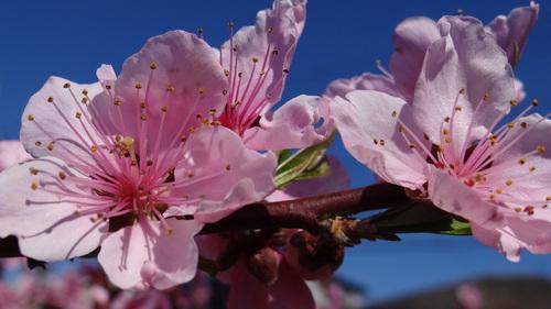 桃・桜_e0240147_14544499.jpg
