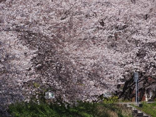 桃・桜_e0240147_1511952.jpg