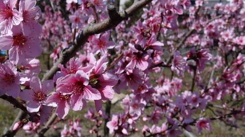 桃・桜_e0240147_15123333.jpg