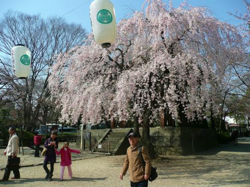 増上寺の桜_c0087349_17183923.jpg