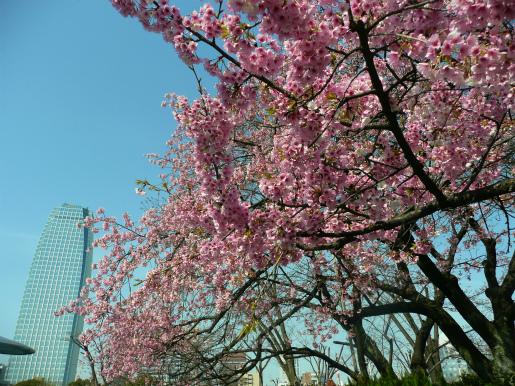 増上寺の桜_c0087349_1719773.jpg