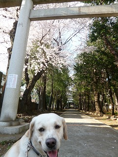 with dog  桜の散歩道を歩いて再び・・・_a0165160_691979.jpg