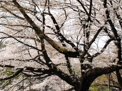井の頭公園は桜が見頃です!_e0126063_19485256.jpg