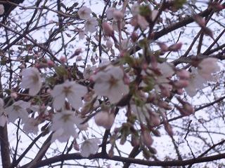 桜。_d0137764_9455352.jpg