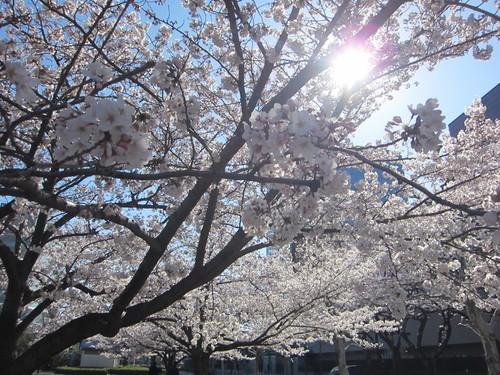 桜満開_b0219170_1119444.jpg