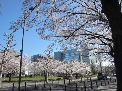 桜満開_b0219170_1120219.jpg