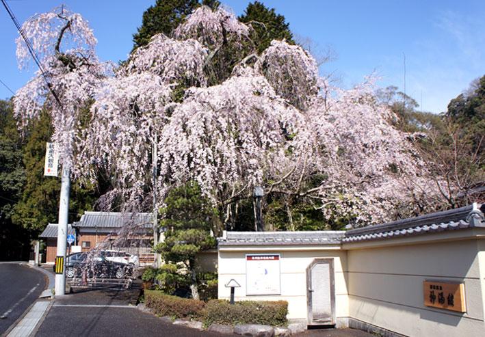 鯉泳ぎ糸桜満開_b0145296_752434.jpg