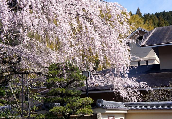 鯉泳ぎ糸桜満開_b0145296_753925.jpg