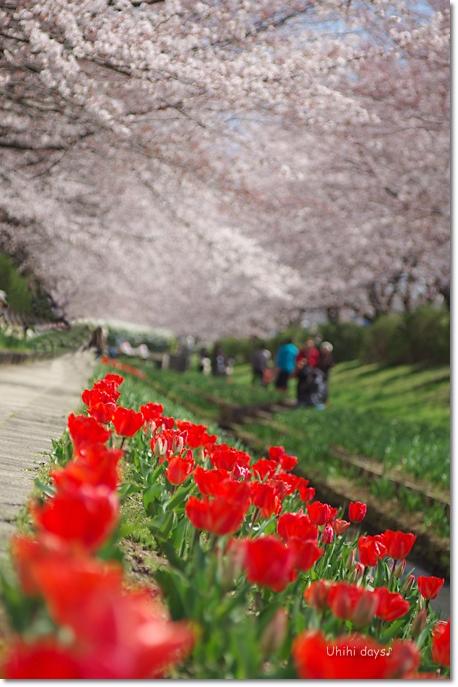 桜の花とチューリップ♪ 江川せせらぎ緑道2012_f0179404_21292764.jpg