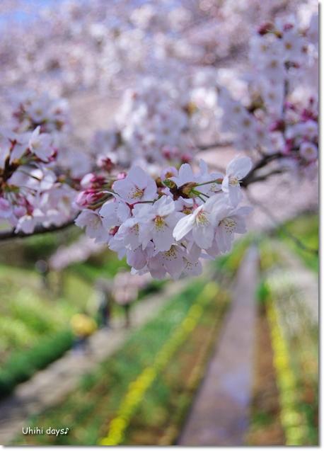 桜の花とチューリップ♪ 江川せせらぎ緑道2012_f0179404_21302913.jpg