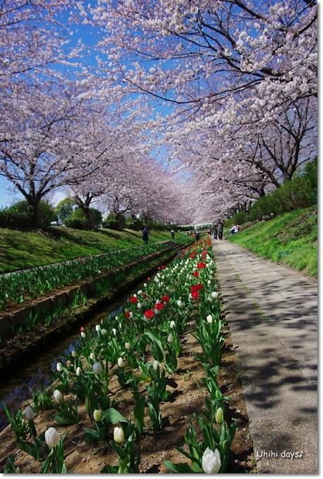 桜の花とチューリップ♪ 江川せせらぎ緑道2012_f0179404_21312549.jpg