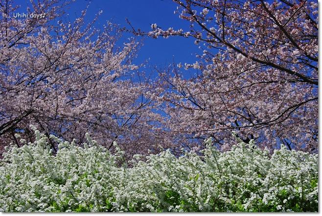 桜の花とチューリップ♪ 江川せせらぎ緑道2012_f0179404_21314419.jpg