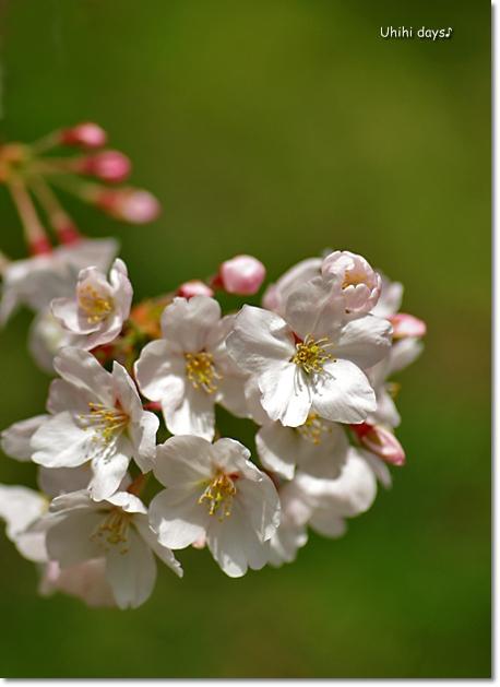 桜の花とチューリップ♪ 江川せせらぎ緑道2012_f0179404_21321754.jpg