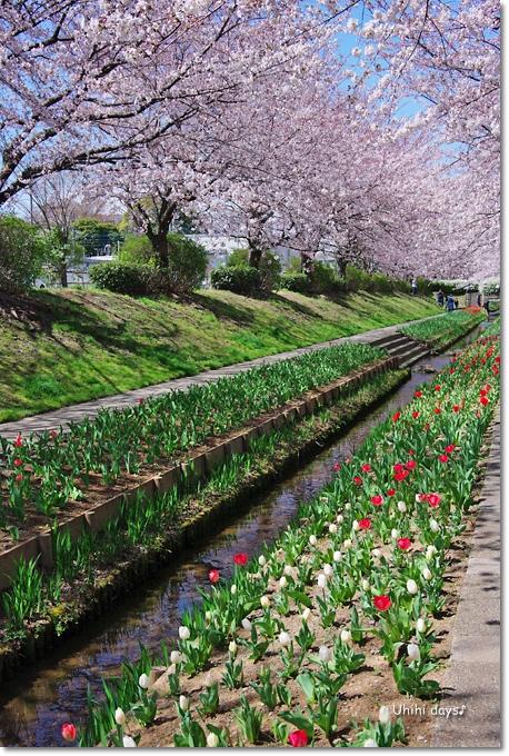 桜の花とチューリップ♪ 江川せせらぎ緑道2012_f0179404_21323974.jpg