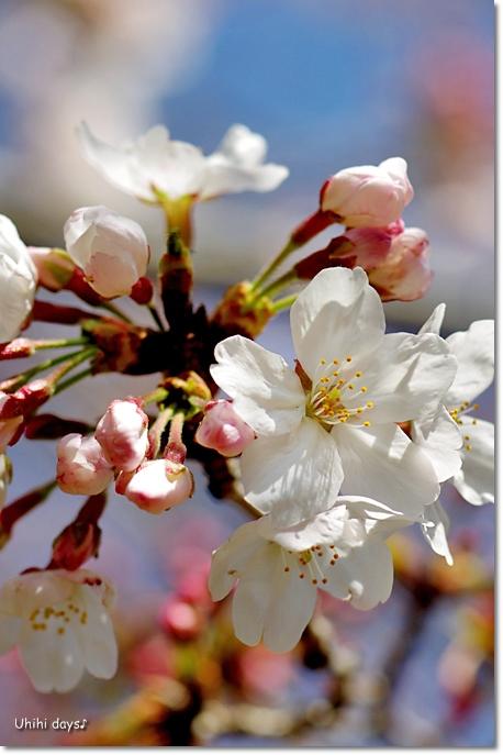 桜の花とチューリップ♪ 江川せせらぎ緑道2012_f0179404_2133457.jpg