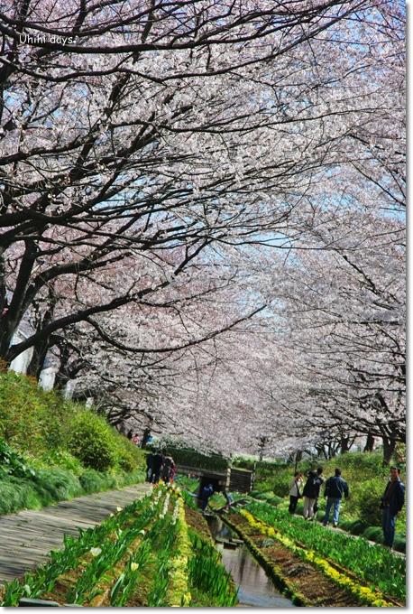 桜の花とチューリップ♪ 江川せせらぎ緑道2012_f0179404_21341926.jpg