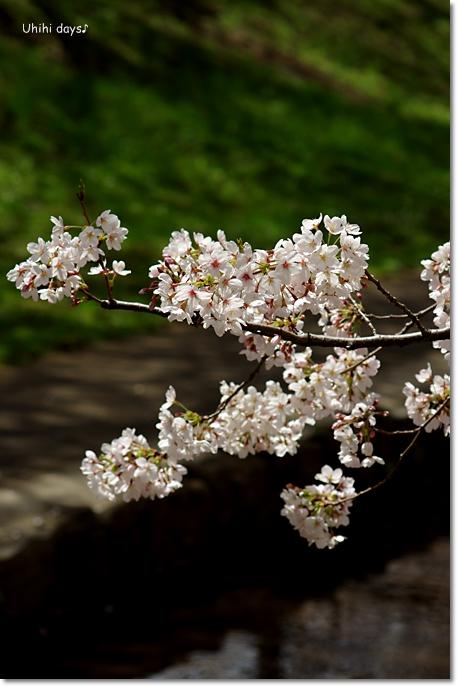 桜の花とチューリップ♪ 江川せせらぎ緑道2012_f0179404_2135883.jpg